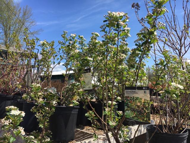 Aronia shrub