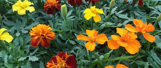Marigolds are a helpful companion plant